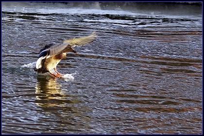 Lądująca kaczka z rozpostartymi skrzydłami