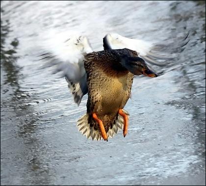 Ladująca kaczka widok  na wprost